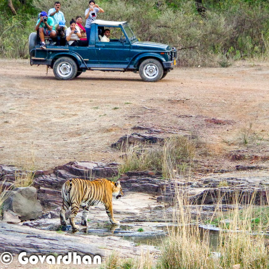 Tiger Tourism in India is much talked topic an there were some discussions that Tiger Tourism will be banned in India. India has maximum number of Tigers in the world and hence it attracts a lot of tourists from various parts of the world. This Photo Journey shares some facts about Tiger Tourism in India and how various wildlife stakeholders think about it. Since Tiger count was decreasing in the past, Indian court had given a judgement to stop tourism in core Tiger reserves and folks responded to this judgement very differently. Statistics show that National parks which are most frequently visited by Tourists have high count of Tigers over a period of time. And Tigers have disappeared from regions where there was hardly any tourism. Recently I met a Wildflife Conservation officer and he had the same opinion that many of the things in our country are preserved only because of Tourism - be it the Heritage like Taj Mahal, or Wildlife.   Some of the popular Tiger Rserves in India are - Corbett in Uttrakhand; Ranthambore in Rajasthan; Kanha, Bandhavgarh & Panna in Madhya Pradesh, Kaziranga in Asam, Meighat in Maharashtra; Bandipur in Karnataka; Periyar in Kerala; Nagarajunasagar Srisailam Tiger Reserve in Anhdra Pradesh. There are approximately 40 tiger reserves in India. Tiger reserves are set up throughout India to provide a protected environment for animals still in the wild. Resorts and villages were set up for tourists, local as well as foreign, to see the tiger habitats and perhaps catch a glimpse of the big cat. The frequent visits inside the forest repel poachers and hence it proved to be a good activity to conserve wildlife. Madhya Pradesh has one of the best tourism eco system because of 6 tiger reserves in the state. Tourism is still on in all of the Wildlife National Parks across the country and encouraging for conservation of Wildlife, especially Tigers. Tiger Tourism is very important for India and hence it's conservation as well. Many of the NGOs, individuals, government authorities have joined hands towards conservation of Tigers in our country. And because of great efforts for #SaveOurTigers, we have been able to increase the count of Tigers in past fewyears. Tiger Tourism is win-win situation for everyone - For folks involved in tourism activities earn good money which boosts overall economy of our country, the conservationists are happy that count is increasing with time and there is less risk to the tigers in various core forests in the country. In National Parks like Ranthambore, lot of foreign tourist visit every year. There are various tourists who visit some of the selected national parks every year and prefer to have multiple Safaris inside the forest areas.Landscapes of different national parks are different hence every national park offers a different experience. Almost everyone of us know folks around us who have visited these Tiger reserves more than once.  Hope that Tiger Tourism in India keeps growing and for positive reasons. At the same time, we hope that tourists also mature with time and respect nature & wildlife of on earth !!