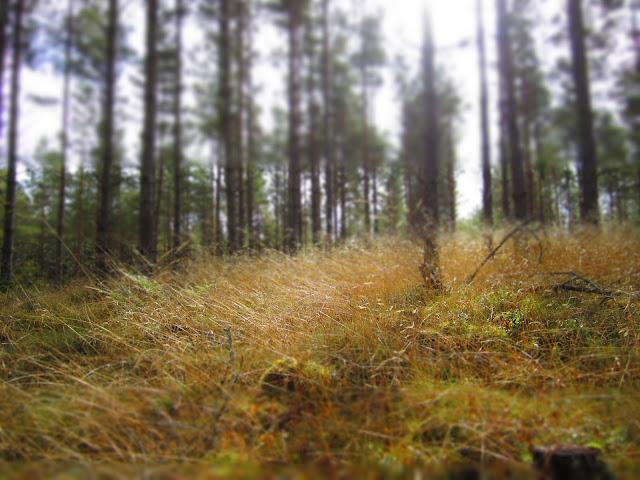 Wald mit Gras und Bäumen in Schweden