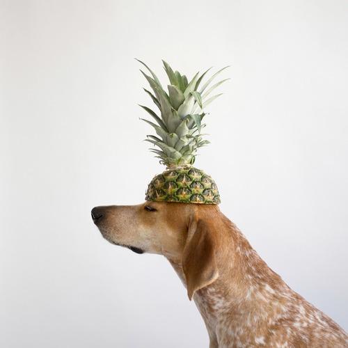photo du chien Maddie avec ananas