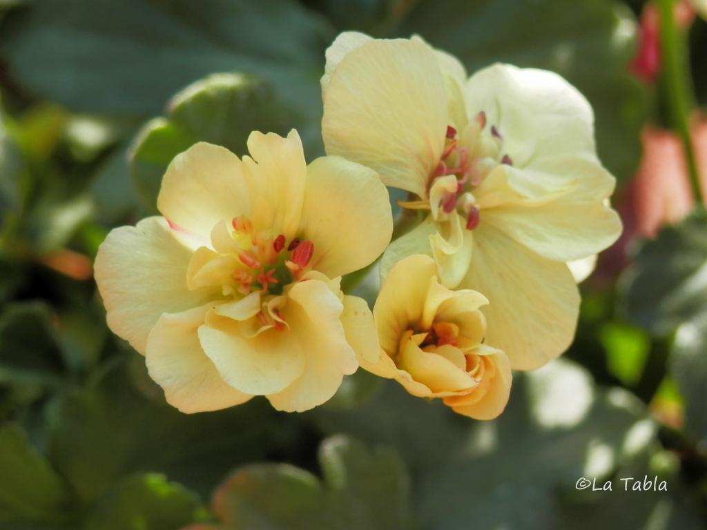 Geranio amarillo custard cream - Geranio de pensamiento ...