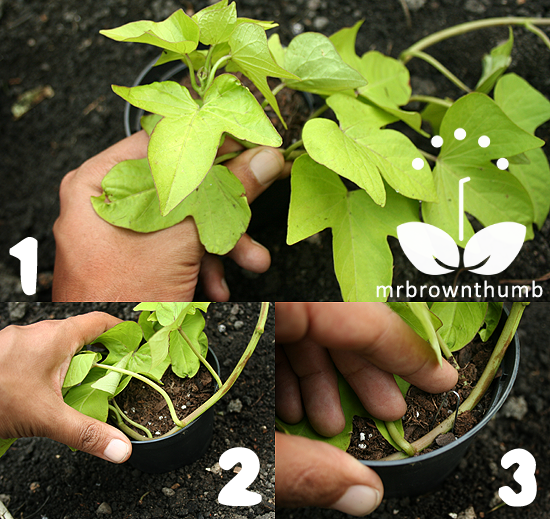 Ornamental Sweet Potato Vine propagation