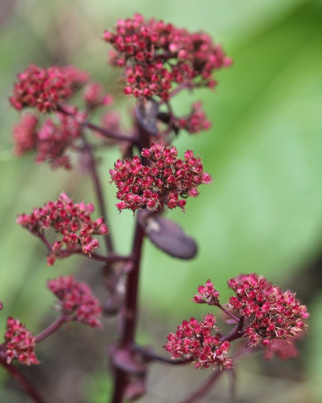 Red House Garden Have Your Sedum And Eat It Too