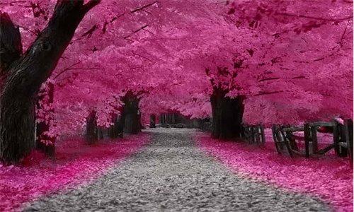 Gambar Bunga Sakura Wallpaper Bunga Sakura Cantik