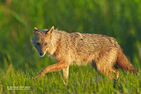 European Golden Jackal