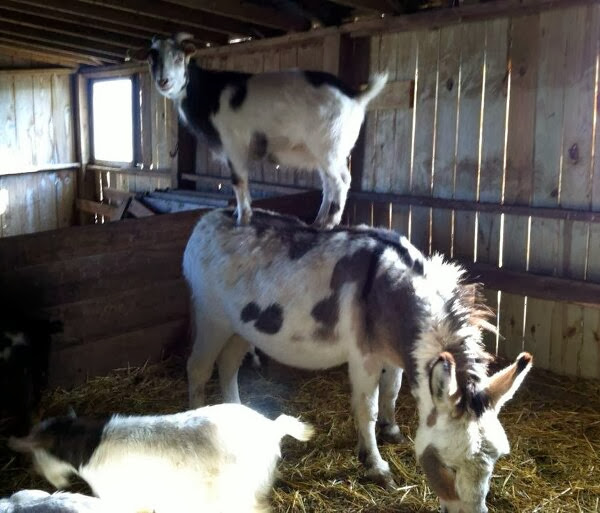 Funny animals of the week - 22 November 2013 (35 pics), goat rides on donkey