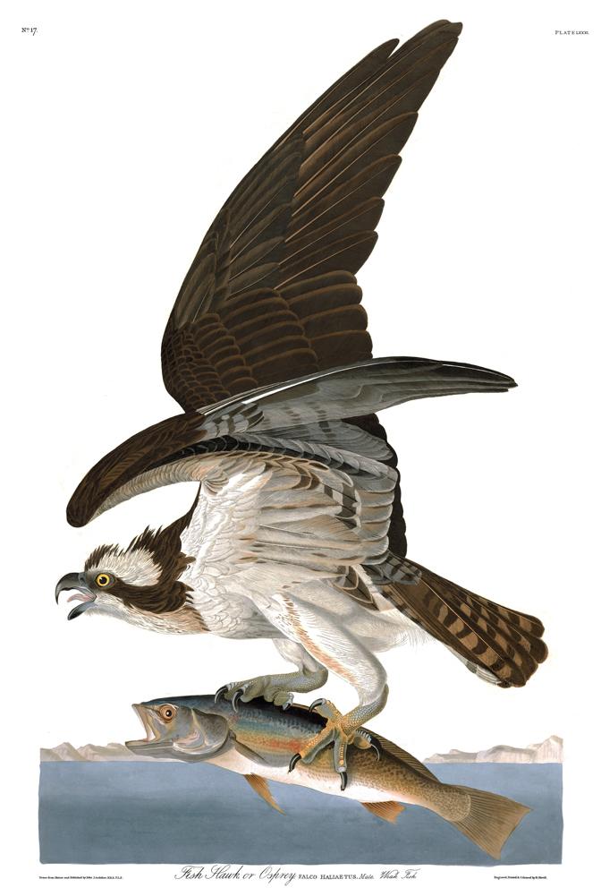 Art artists audubon birds of america part 3 for Fish hawk fl
