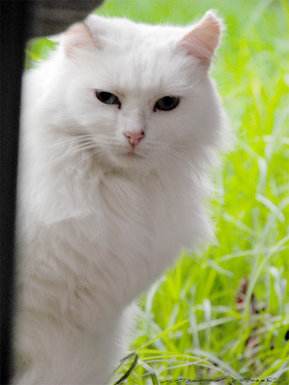 Deaf White Cat For Adoption
