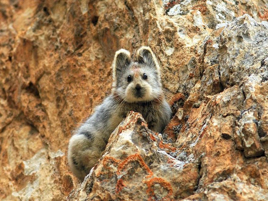 Ili Pika, um dos animais mais ameaçados do mundo