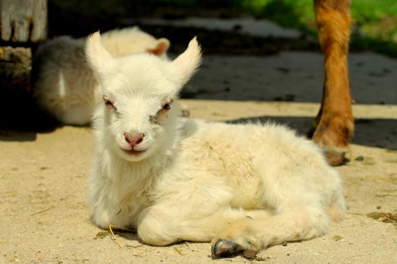 Oopsy, Berrit's ewe lamb