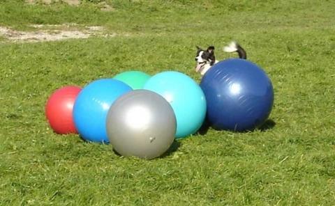 Treibball el nuevo deporte para perros