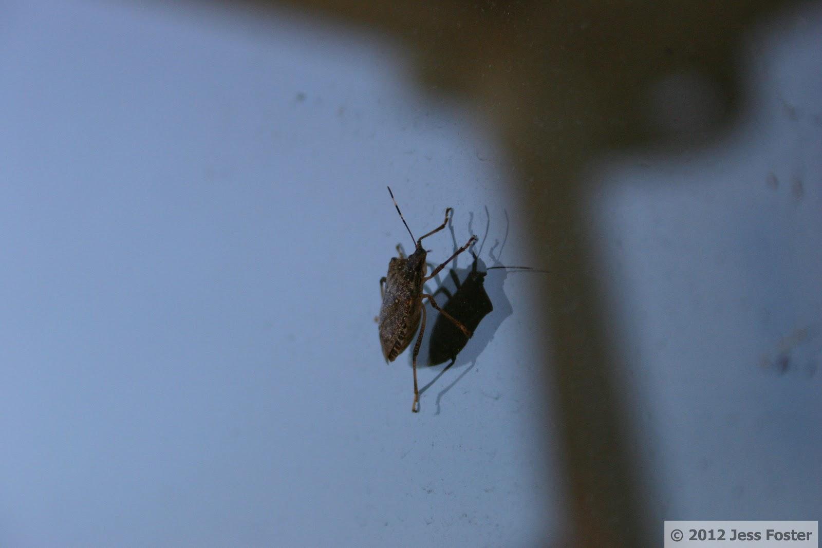 Sluggin\' Along: Brown Marmorated Stink Bug