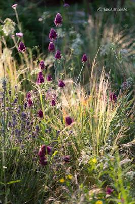 Das Kiesbeet von Renate Waas im Juli - Gräser bringen Leichtigkeit und Bewegung ins Staudenbeet - Zierlauch setzt Akzente. Inspiration holt sich die Gartenarchitektin unter anderem bei Peter Janke