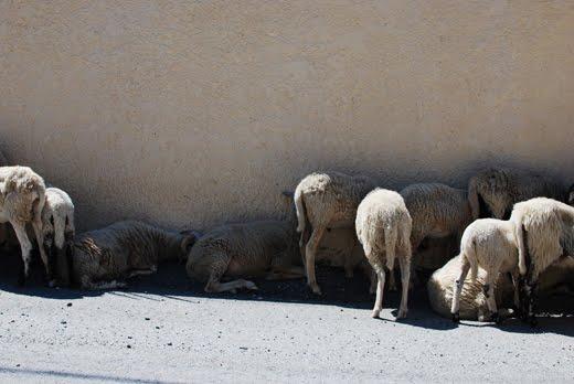Ovelhas cretinas (ou serão cretenses?)