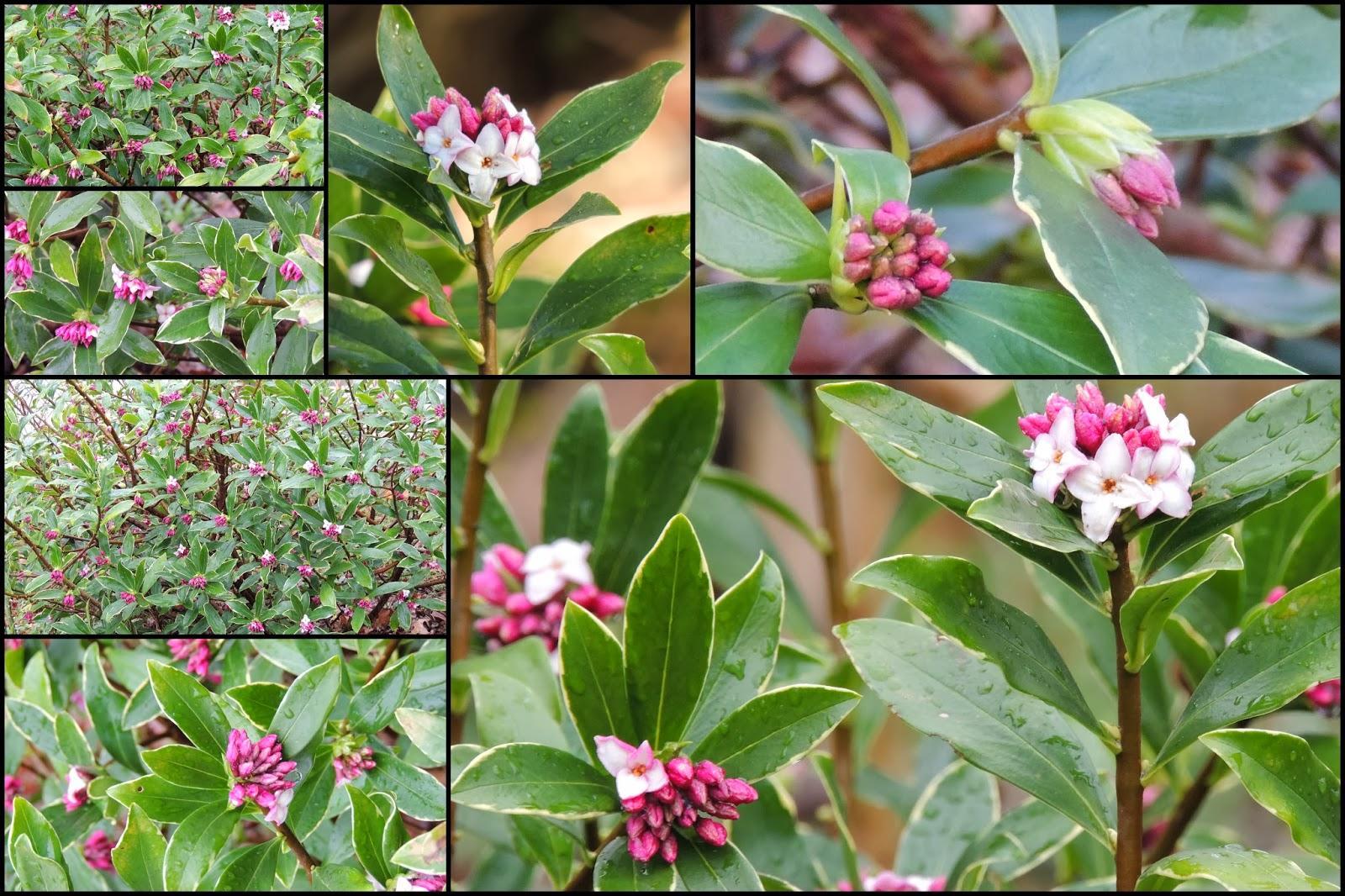 Il etait un petit jard 39 ain belles belles belles for Arbuste daphne odora aureomarginata