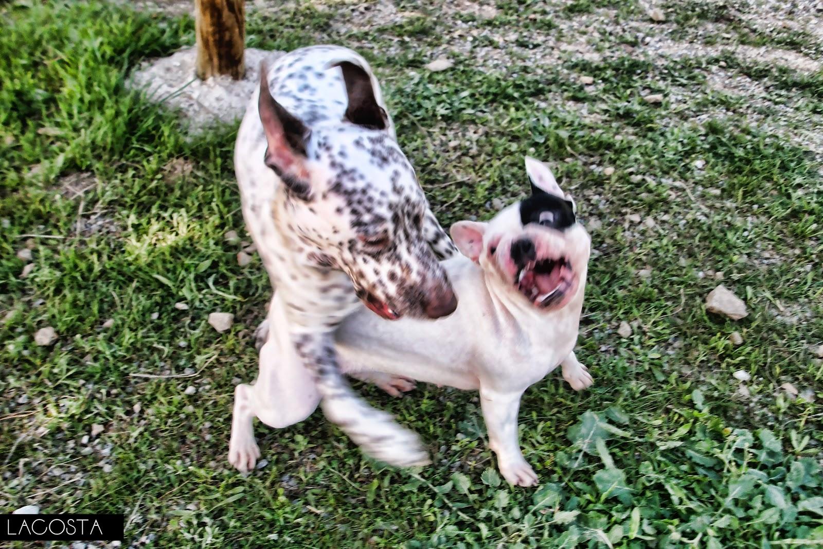 Fotos peleas de perros 30