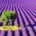 [Chùm ảnh] Hoa oải hương tím rặp cả khoảng trời