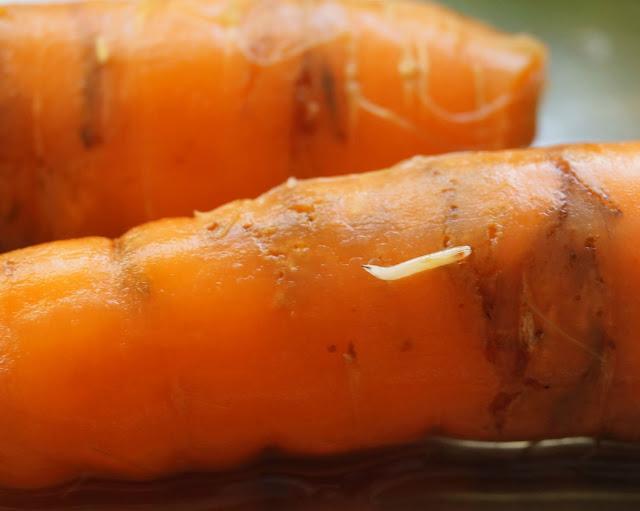 Carrot fly larvae- 'growourown.blogspot.com' ~ An allotment blog