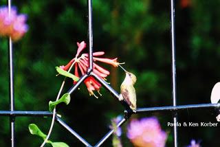 hummingbird and native trumpet honeysuckle