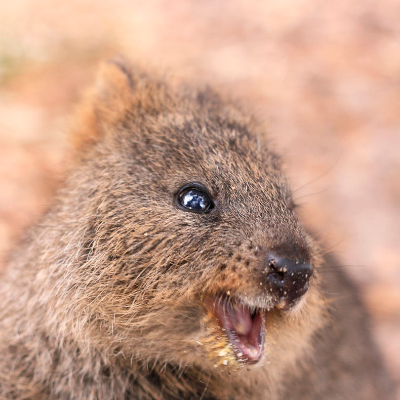 El Quokka, el animal más feliz en el mundo