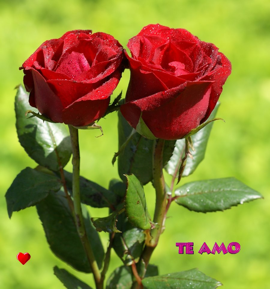 Image gallery las rosas mas bonitas - Rosas rosas hermosas ...