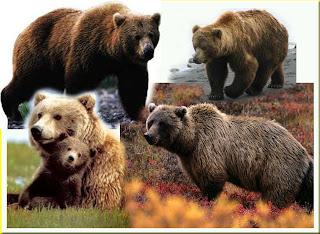 gambar_beruang_grizzly_binatang_besar