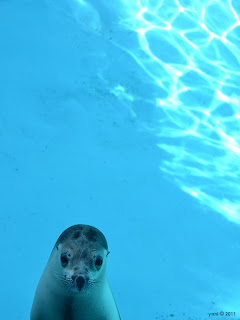 curious blue (seal)