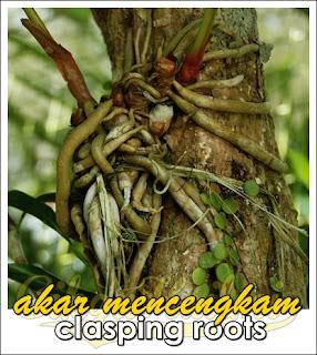 akar mencengkam clasping roots