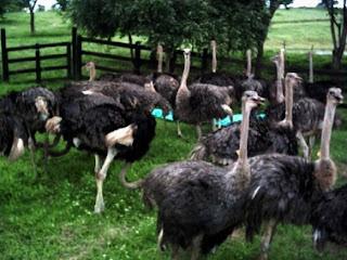 Avestruces en el corral
