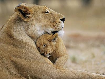 Lion Cub Love Normal Desktop Backgrounds,Stills,Wallpapers