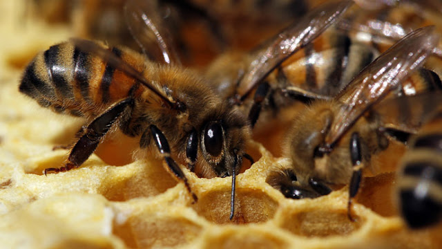 'Beemageddon' Threatens US With Food Disaster