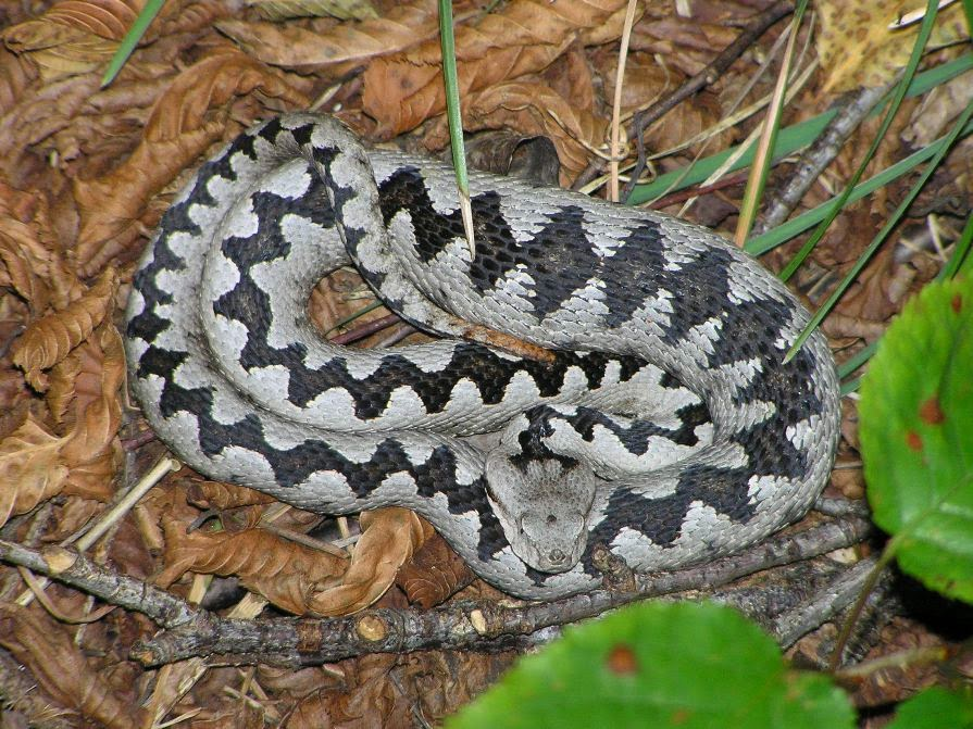 Serpenti di tutto e di pi marzo 2014 for Biscia nera