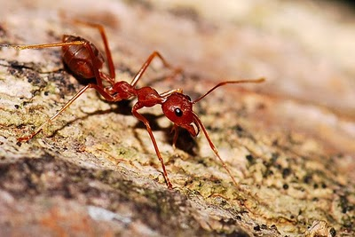 semut rangrang-bisnis semut rangrang-bisnis kroto semut rangrang-peternak semut rangrang