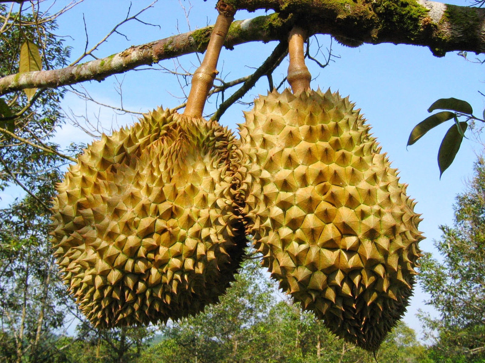 durian info botany of the common durian. Black Bedroom Furniture Sets. Home Design Ideas