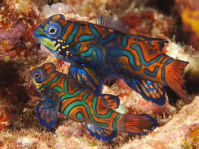 Mandarin fish for Colorful freshwater aquarium fish