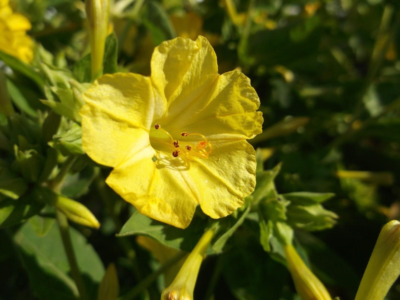 Цветок ночная красавица (мирабилис посадка и уход, фото) 93