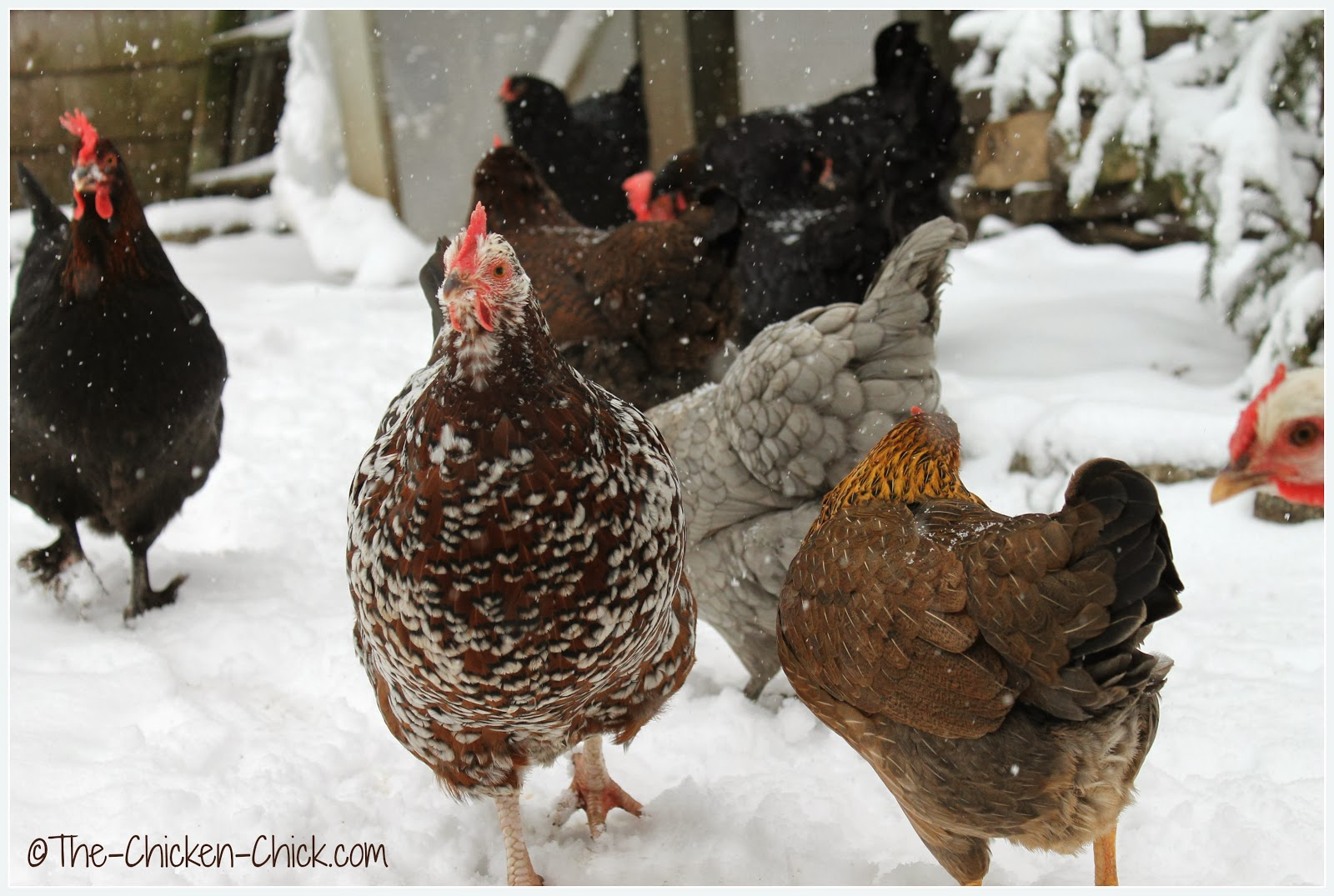 Speckled Sussex hen and chickens in snow