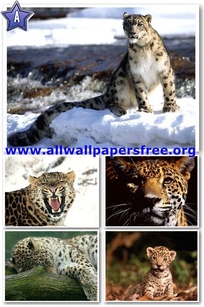 160 Beautiful Leopards Wallpapers 1600 X 1200 Px