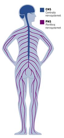 nervbanor i kroppen bild