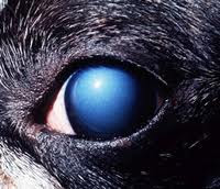 corneal dystrophy in dog