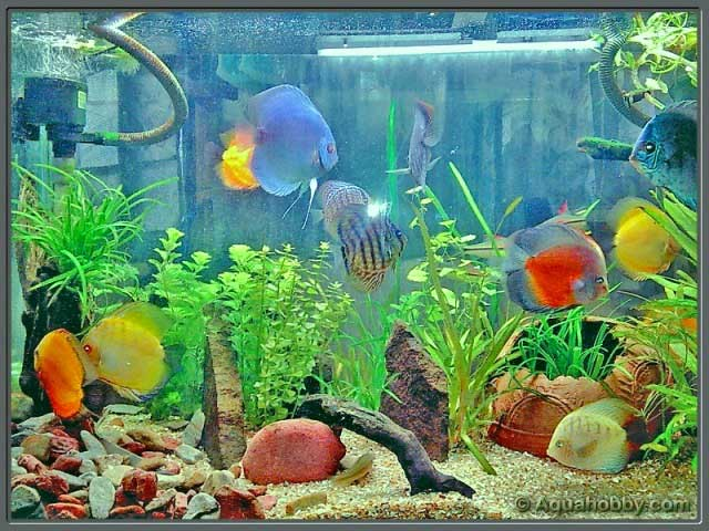 Discus fish water for Keeping discus fish