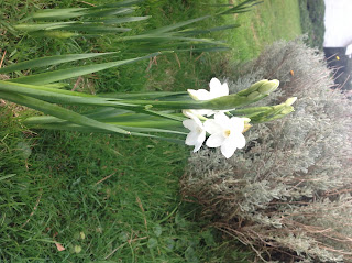 Early flowering daffodils in the gardens of Trewoon, Poldhu Cove, Mullion, Lizard, Cornwall home of luxury self catering holiday cottages with spectacular sea views and direct beach access and coastpath