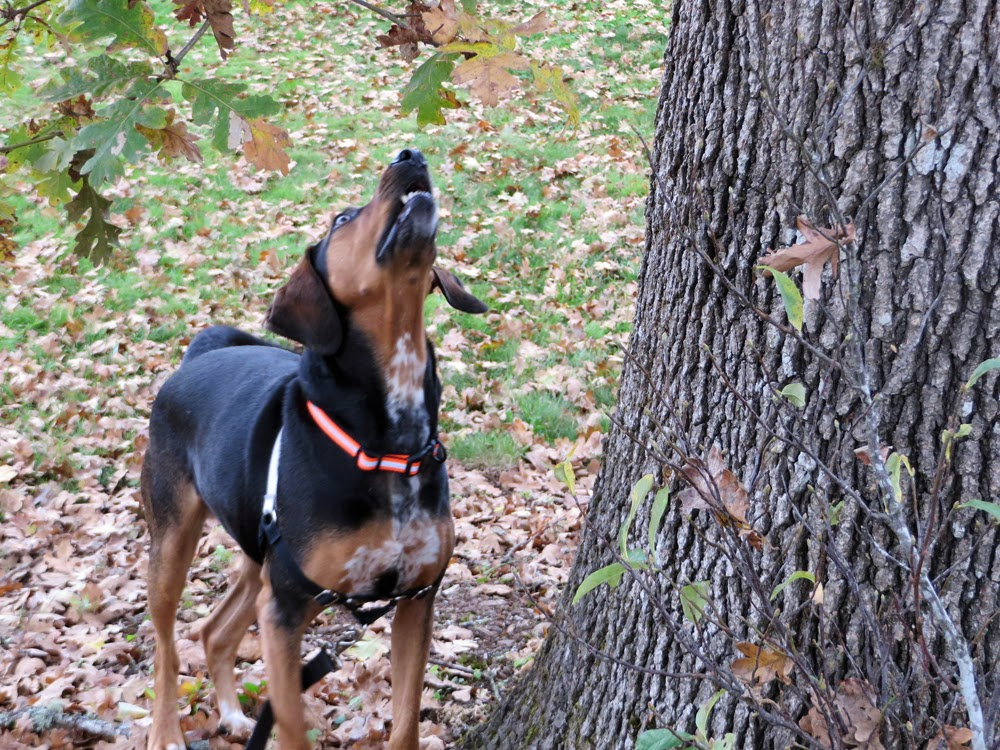 Blog coon hound tales i love my new personalized hunting collar