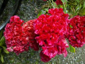 Bunga Balong Ayam