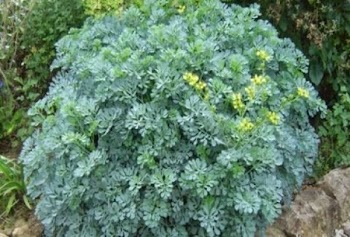 Το φυτό που διώχνει τη γρουσουζιά, το κακό μάτι και τις γάτες απ'την αυλή σας!