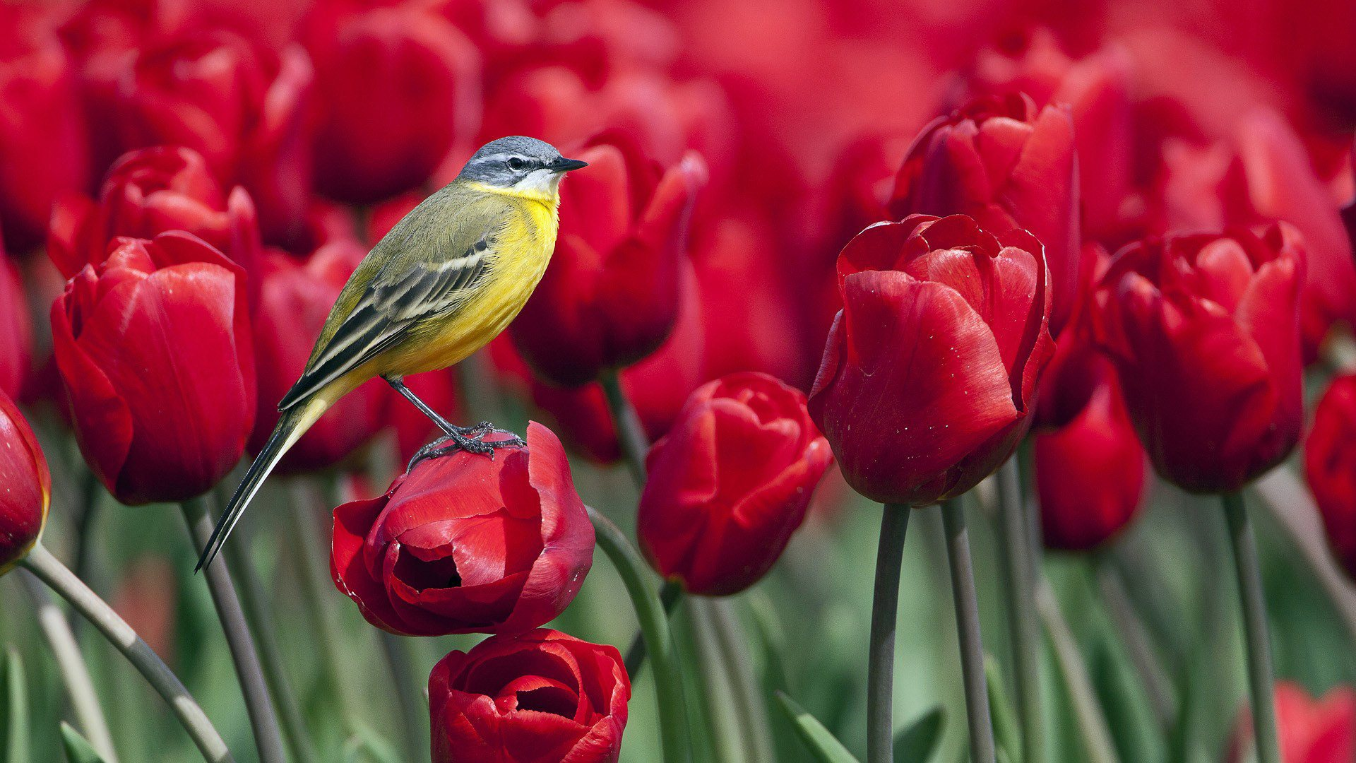 Bird Sitting on Red Flowers | Wallpapers | Abstract ...