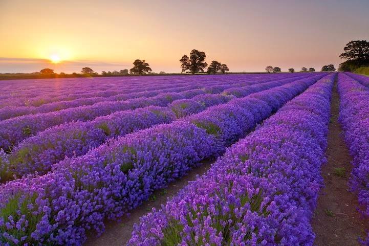 Revolusi Ilmiah - Bunga laverder sangat baik untuk mengusir nyamuk.