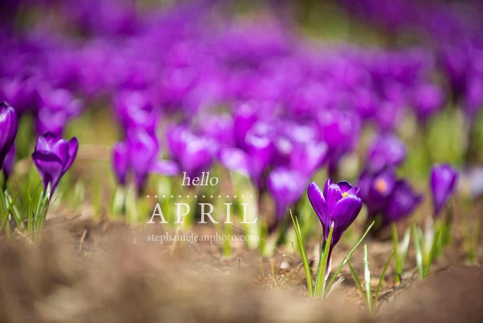 Purple and geen crocus Long Island Photographer