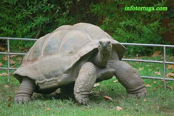 Tortuga gigante de Aldabra (Dipsochelys dussumeri)