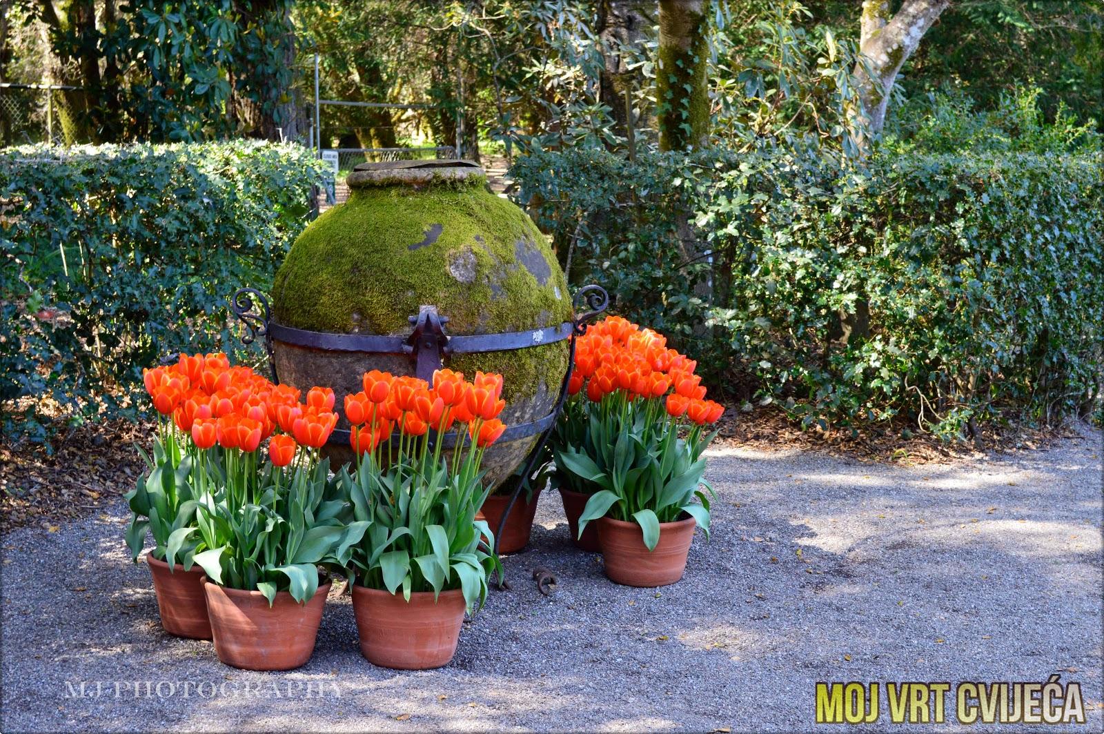 Uljepšajte vrt u rano proljeće sa tulipanima iz plastenika - Moj Vrt Cvijeća