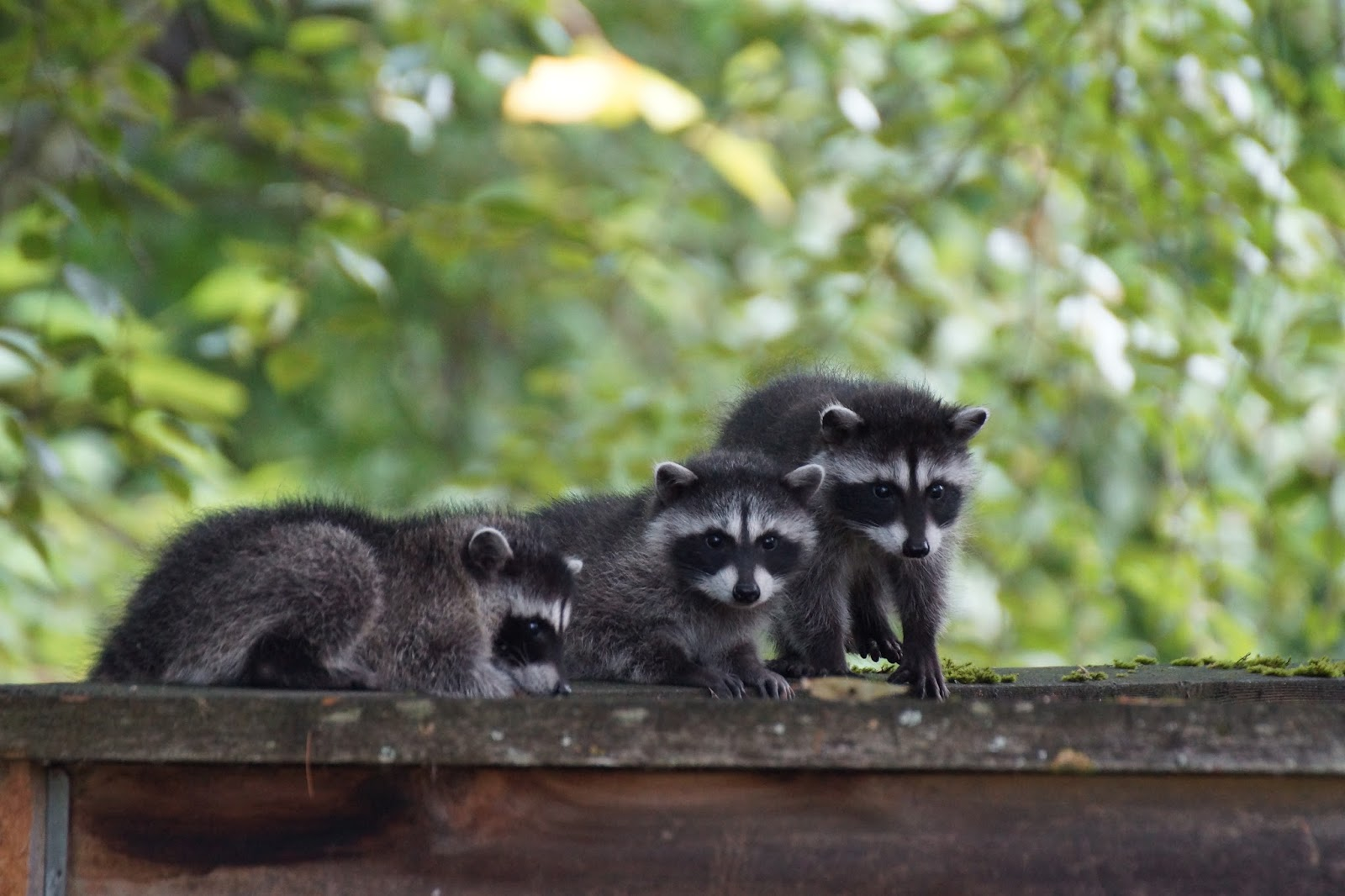 raccoon family visit our backyard i 39 m hoping the skunks aren 39 t next